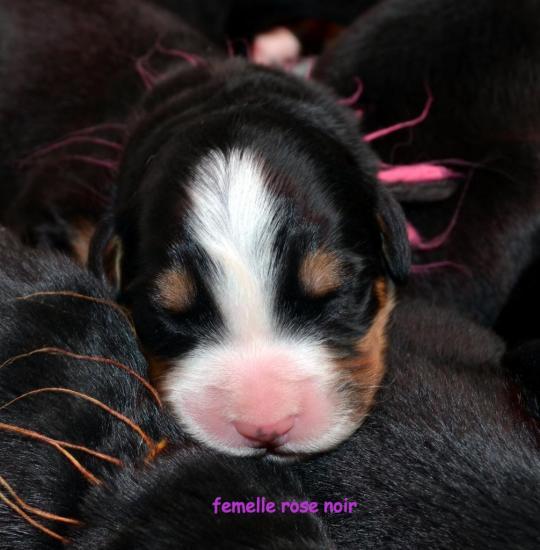 femelle-rose-noir.jpg